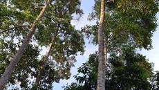 Loài cây thẳng tắp, cao vút, ra quả thơm, bán đắt như vàng
