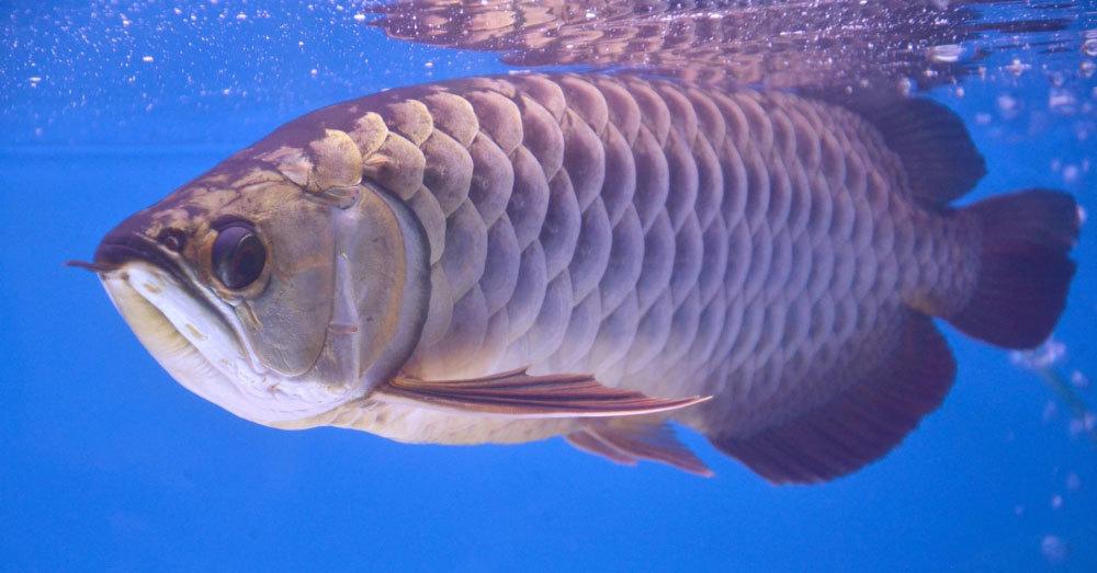 Ly kỳ cá rồng 'báo trước hiểm họa', giới siêu giàu chi tiền tỷ săn lùng