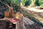 Quảng Nam: Bắt giám đốc công ty gỗ tham gia phá rừng