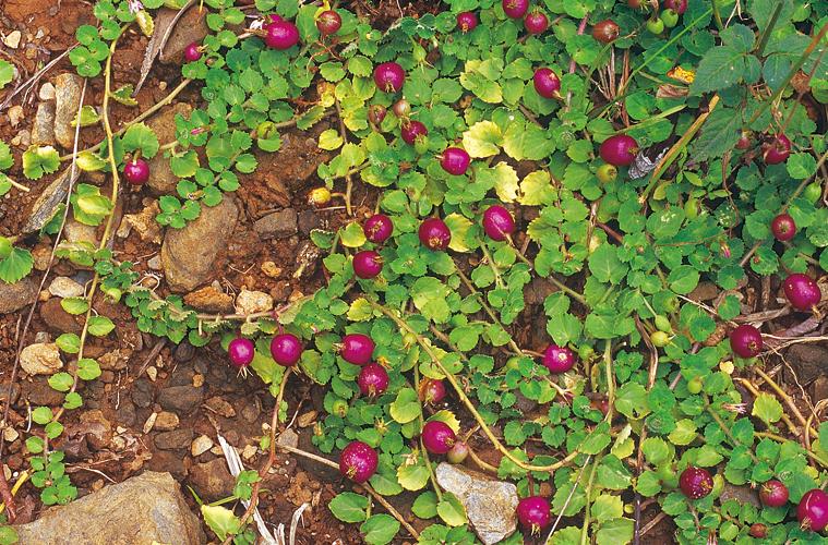 Năm loại rau dại độc lạ, là đặc sản Việt Nam được săn lùng