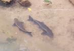 Lần theo loài cá lạ quý như vàng dưới chân núi Hoàng Liên