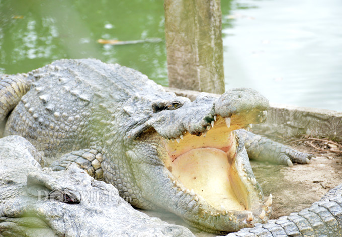 Bí mật trong trại hàng vạn con cá sấu của ông trùm tỷ phú miền Tây
