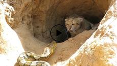 Hồi hộp chứng kiến mèo mẹ đối đầu với sát thủ rừng xanh bảo vệ đàn con