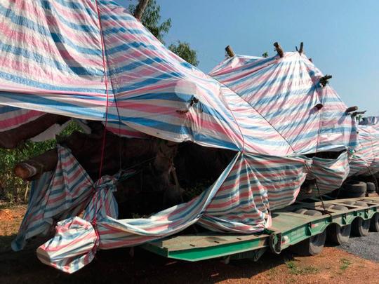 Xe chở cây 'quái thú' trên đường ra Hà Nội lại bị bắt