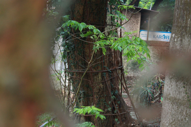 Hà Nội đồng ý cho người dân bán 'cây sưa trăm tỷ'