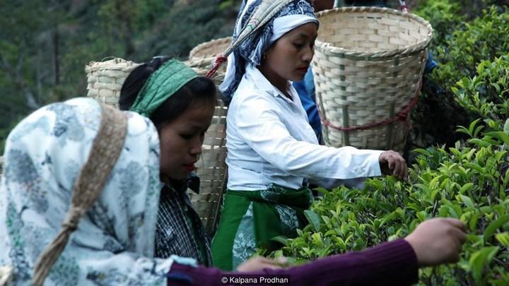 Trà thần bí từ Ấn Độ, giá hàng chục triệu mỗi cân