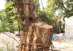 Chi hơn 20 tỷ mua gỗ sưa đỏ, đại gia Bắc Ninh 'còng lưng' trả nợ suốt 8 năm
