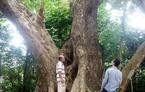 Chuyện ít biết về 'cụ sưa 7 đời' khủng nhất Việt Nam