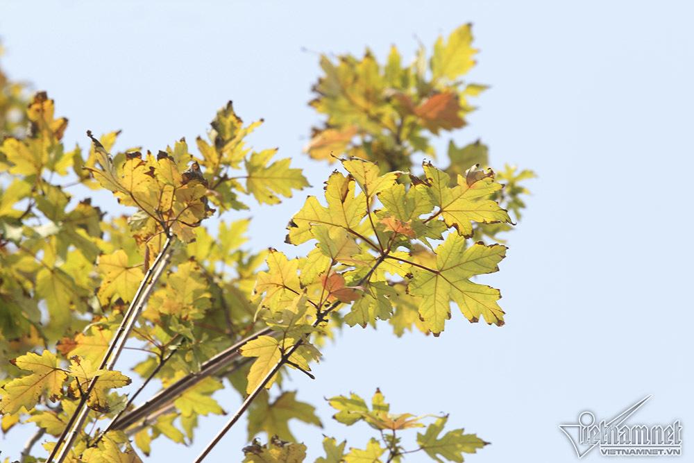 Hàng cây 'củi khô' nhuộm vàng phố Hà Nội như trời Tây