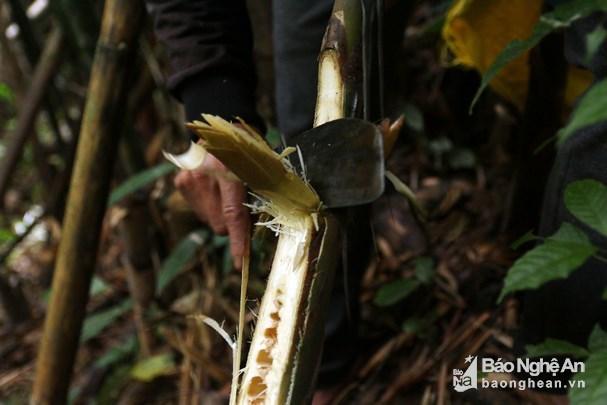 """Vượt rừng săn sâu """"khủng"""" làm món ăn ở vùng cao Nghệ An"""
