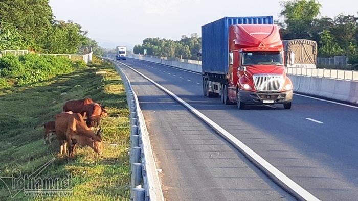 Hàng rào tạm bợ, đàn dê kéo ra mép cao tốc 34.000 tỷ