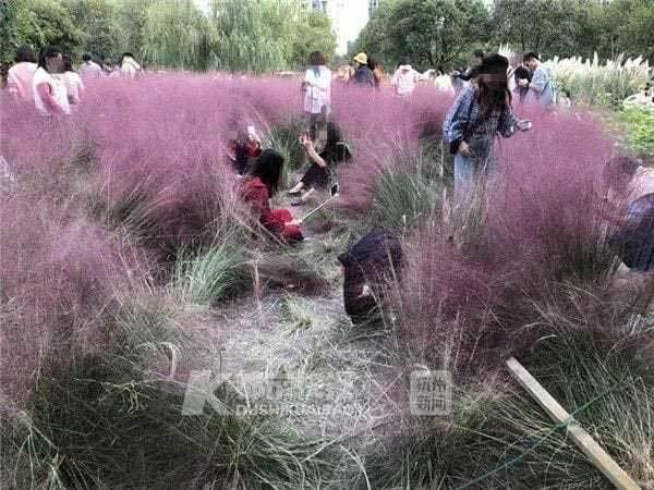 Chỉ 'tốn' 3 ngày, khách TQ dẫm nát vườn cỏ hồng ba năm vun xới