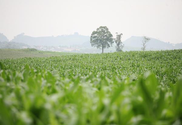 Mộc Châu- thảo nguyên nuôi dưỡng dòng sữa mát lành