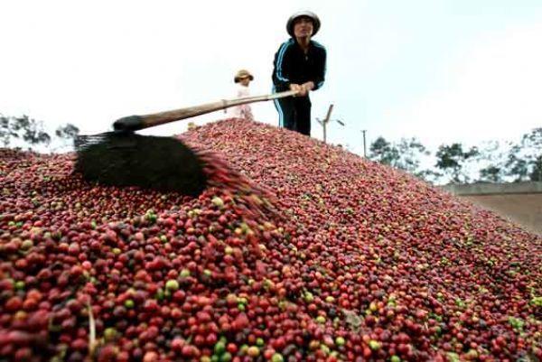 Giá cà phê hôm nay 25/10: Giảm thêm 100 đồng/kg