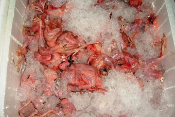 Hàng tấn thịt chim cút 'bẩn' và gà chết tím tái bị 'chặn đứng' ở Sài Gòn