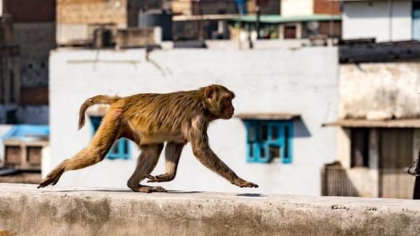 Ông lão bị bầy khỉ ném gạch tới chết