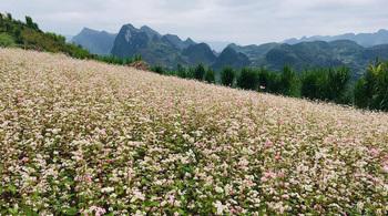 Điểm ngắm hoa tam giác mạch ở Hà Giang nhất định phải khám phá tháng 10 này