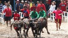 Xem đua trâu cuối mùa mưa ở Thái Lan