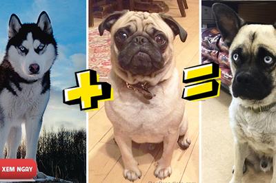 """Những hình ảnh """"lai tạp"""" chú chó Pug khiến dân mạng không thể nhịn cười"""