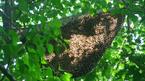 Thanh niên bị ong đốt chết, 10 người kéo lên 'giải vía' tiếp tục bị thương
