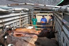 Vinamilk nhập từ Úc hơn 200 cô bò sữa hữu cơ