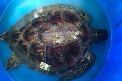 Người đàn ông ở Sài Gòn phát hiện rùa biển quý hiếm