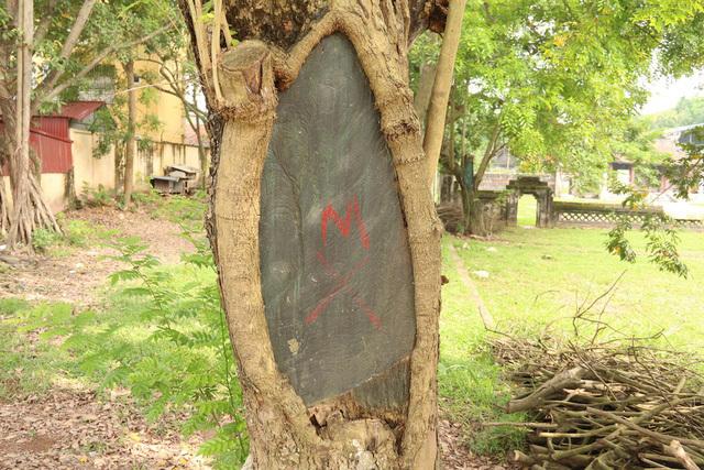Công an xã lập chốt bảo vệ 3 cây sưa trăm tuổi ở Hà Nội