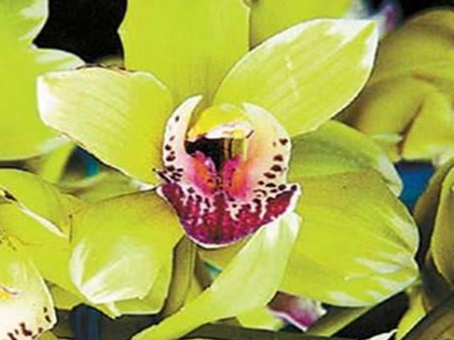 8 năm nuôi dưỡng, 5 năm đợi nở hoa: Đau tim với giò phong lan 4,5 tỷ