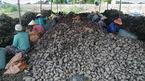 Trung Quốc ngừng mua, khoai lang thê thảm: Dân khóc trên đồng, tỉnh cầu cứu bộ