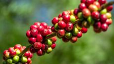 Giá cà phê hôm nay 7/11: Giảm mạnh 800 đồng/kg