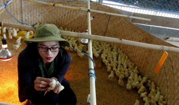 khởi nghiệp,nuôi gà
