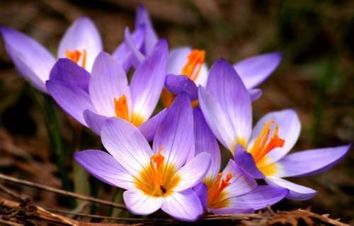 nhụy hoa nghệ tây,đặc sản nhà giàu,gia vị vàng ròng