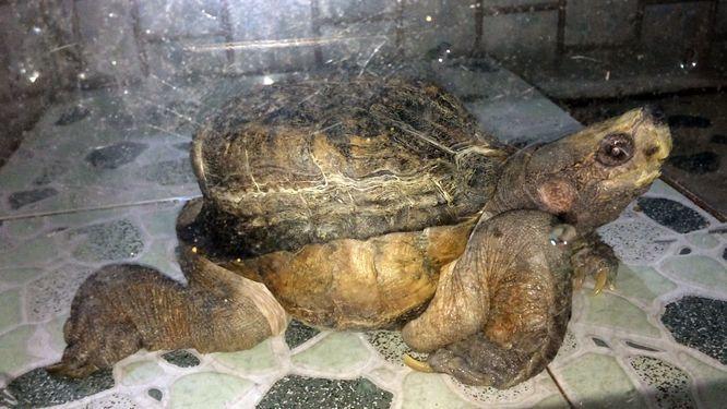Xuất hiện 'quái vật' rùa siêu dị ở Tiền Giang, dân ầm ầm tới xem