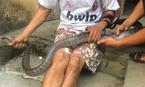 Tuyên Quang: Bắt con rắn hổ mang dài 2 mét, lái buôn chốt ngay tiền triệu