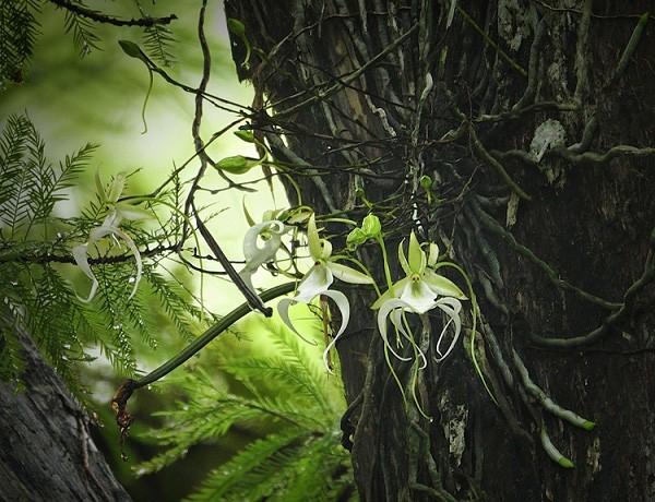 Phong lan ma - loài hoa đắt đỏ nhưng cây lại không có một chiếc lá nào