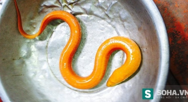 Con lươn lạ trắng toát toàn thân: Xôn xao mỗi lần xuất hiện