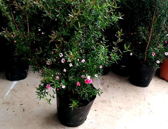 Bỏ 500 triệu mua trăm bụi cây dại, hoa nhỏ li ti trồng khắp vườn nhà