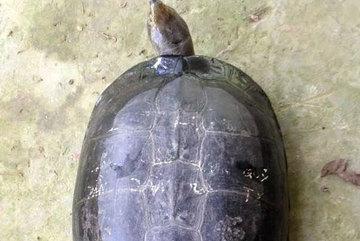 Mua 'cụ rùa' phóng sanh, bất ngờ thấy trên mai có chữ 'Quý Tỵ'