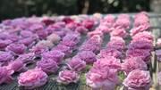 Trà hoa hồng nguyên bông 10 triệu/kg, bà chủ bỏ 2 tỷ không dám uống nhiều