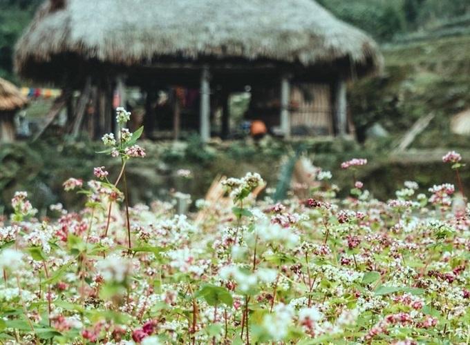 Tháng 11, đừng quên ghé Hà Giang ngắm mùa tam giác mạch tuyệt đẹp