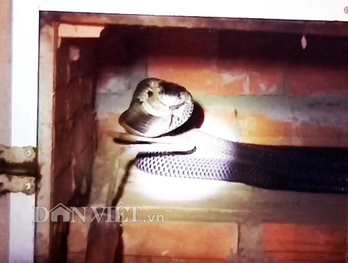 Rùng rợn trang trại rắn hổ mang 1.000 con của anh nông dân Cà Mau