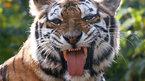 Hổ cái đuổi sát xe mui trần chở khách du lịch