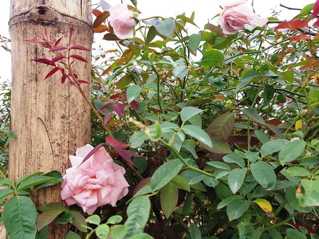 hoa hồng,hồng cổ