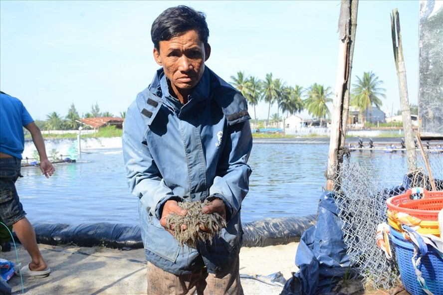 Nghi vấn 900 nghìn con tôm bị đầu độc ở Quảng Nam
