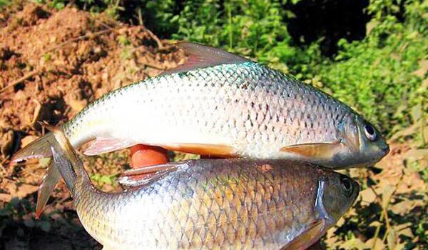 Loài cá báu vật trời đất ban tặng sống ở dòng sông duy nhất trên Tây Bắc
