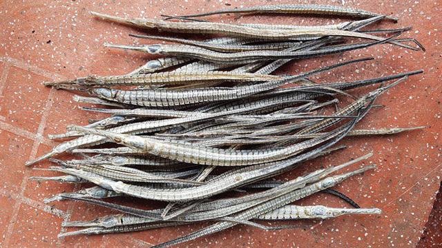 Gom mua cá lìm kìm gai, vơ vét cả cây dại: Bí mật của thương lái Tàu
