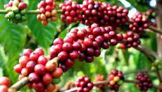 Giá cà phê hôm nay 30/11: Vừa tăng, đã giảm 400 đồng/kg