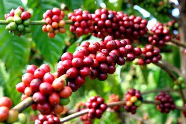 Giá cà phê hôm nay 22/11: Tiếp tục giảm thêm 200 đồng/kg