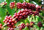 Giá cà phê hôm nay 20/11: Thị trường trầm lắng, ít giao dịch