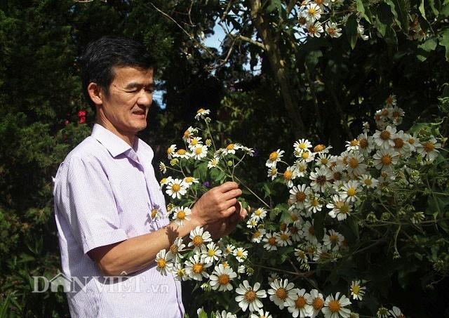 Độc nhất Việt Nam: Hoa dã quỳ trắng tinh